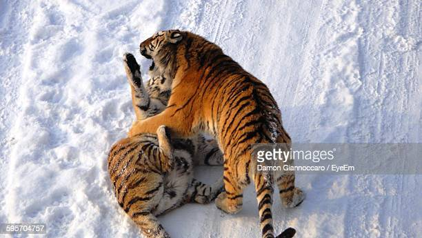 High Angle View Of Siberian Tigers Fighting On Snow Covered Field