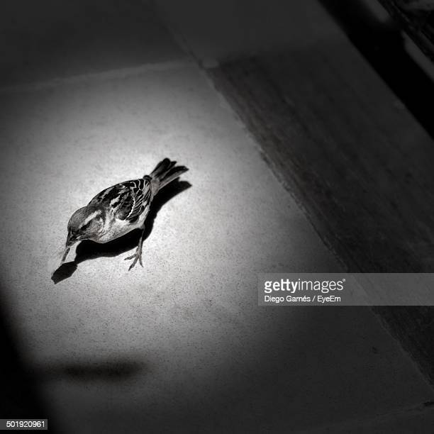 High angle view of sparrow on floor