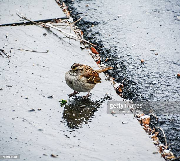 High Angle View Of Sparrow On Wet Sidewalk By Street