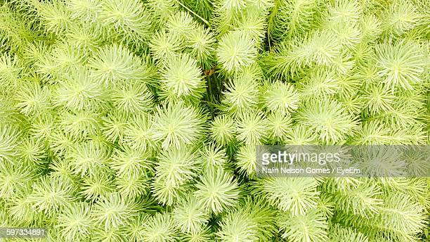 High Angle View Of Spruce Trees Growing On Field
