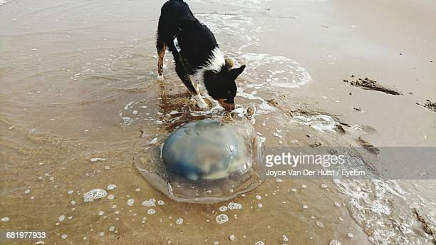 High Angle View Of Stray Dog By Dead Jellyfish At Beach