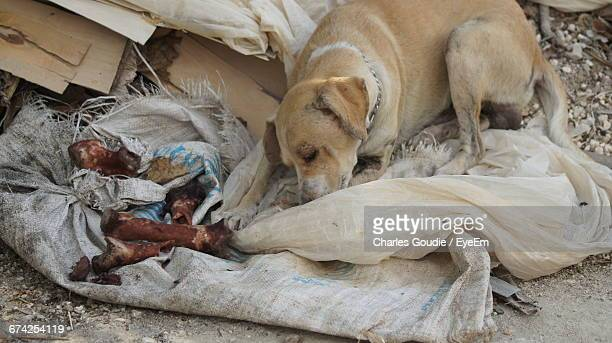 High Angle View Of Stray Dog Sleeping By Bones