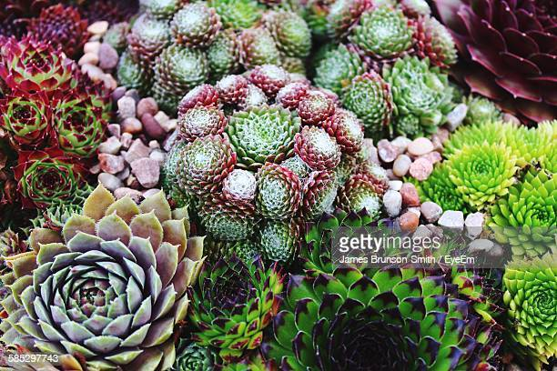 High Angle View Of Succulent Plants Growing Outdoors