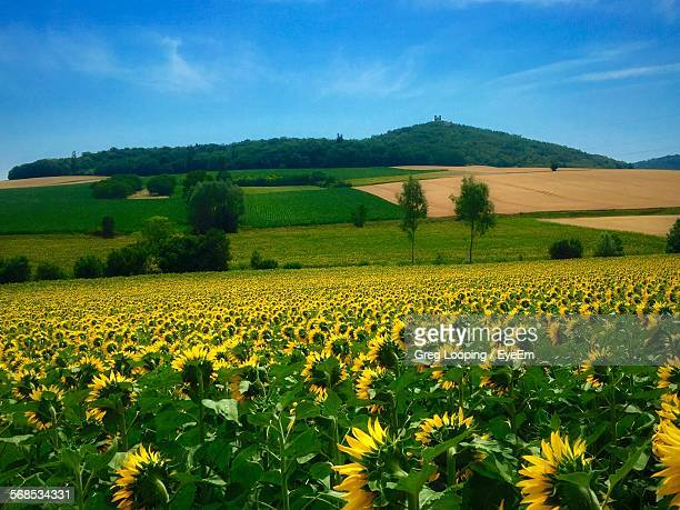 High Angle View Of Sunflower Field At Farm Against Sky