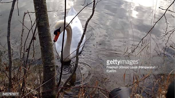High Angle View Of Swan Floating On Water