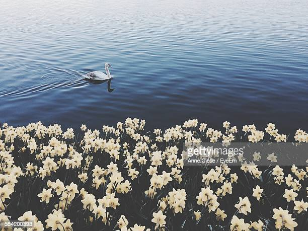 High Angle View Of Swan On Lake By Flowers