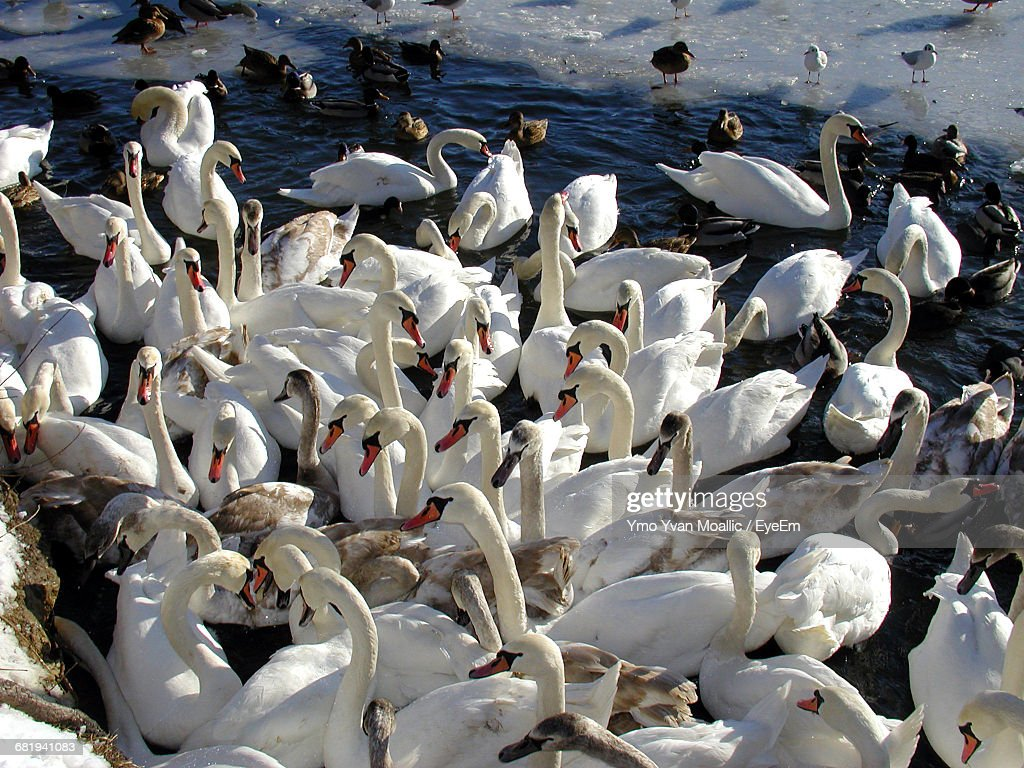 High Angle View Of Swans At Lakeshore : Stock-Foto