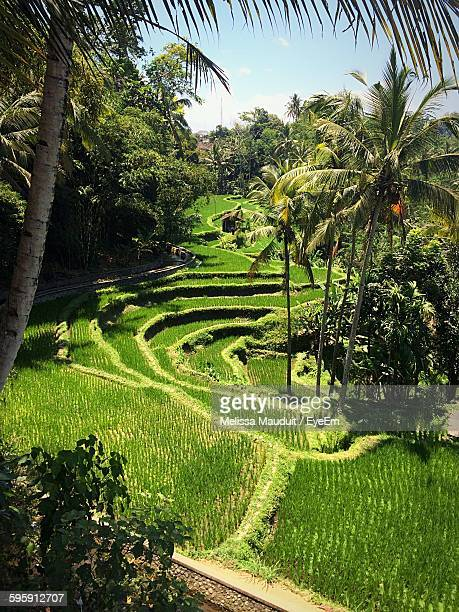 High Angle View Of Trees Growing By Rice Field