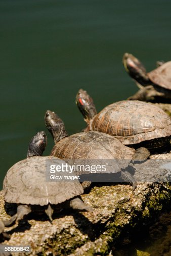 High angle view of turtles on a rock