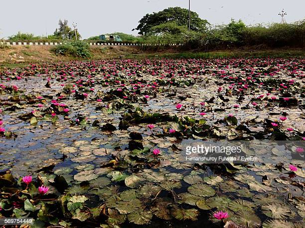 High Angle View Of Water Lilies Blooming On Lake