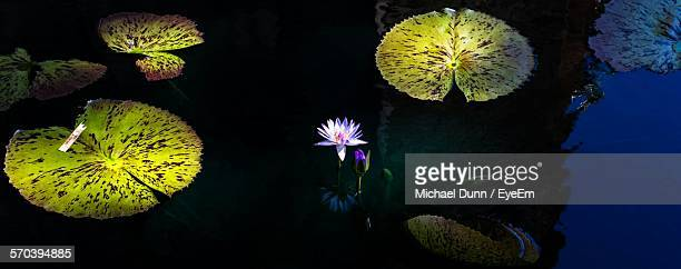 High Angle View Of Water Lily Blooming In Pond At Night