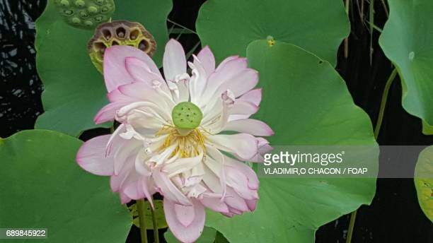 High angle view of water lily