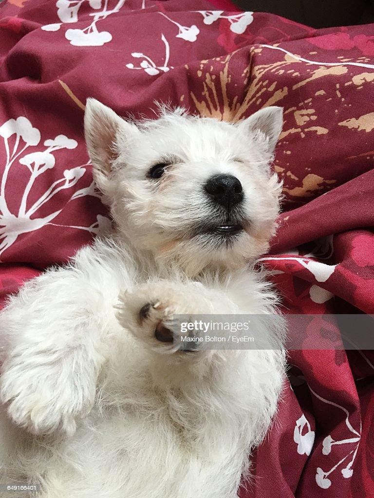 High Angle View Of West Highland White Terrier Lying On Bed