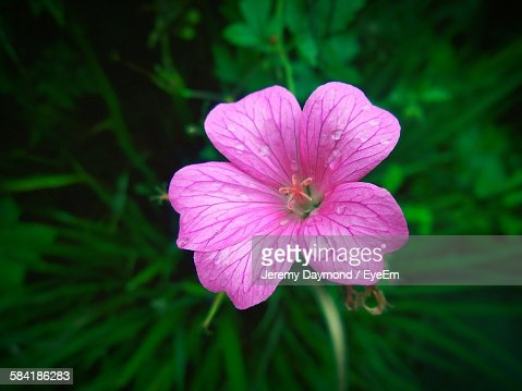 High Angle View Of Wet Geranium Blooming In Garden