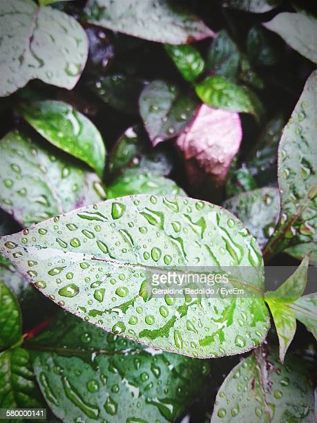 High Angle View Of Wet Leaves During Rainy Season