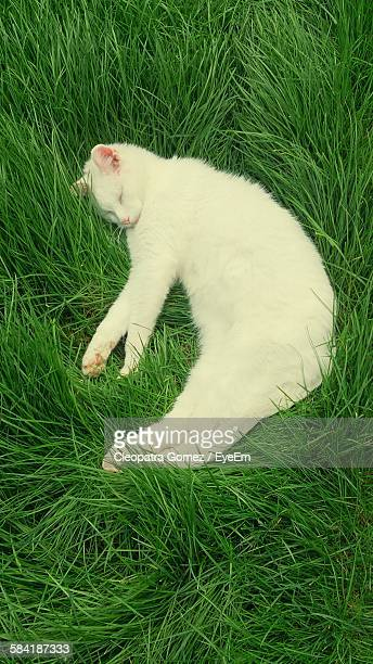 High Angle View Of White Cat Sleeping On Green Grass