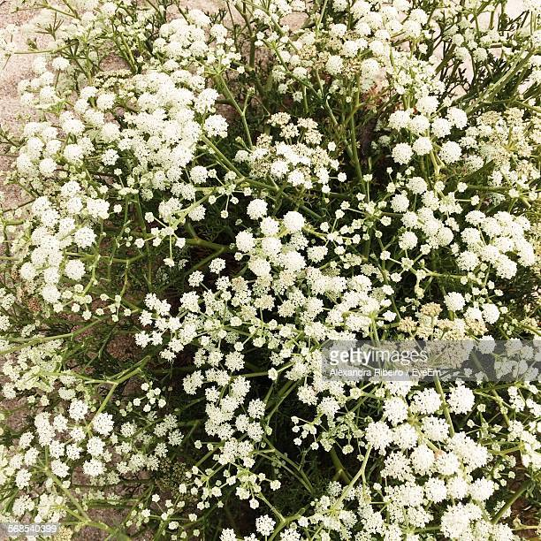 High Angle View Of White Flowers Blooming On Field