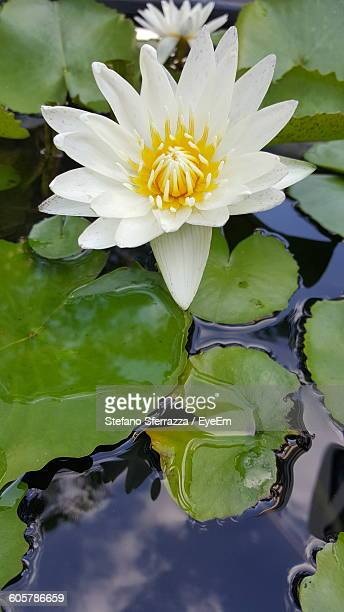 High Angle View Of White Lotus Water Lily Blooming On Pond