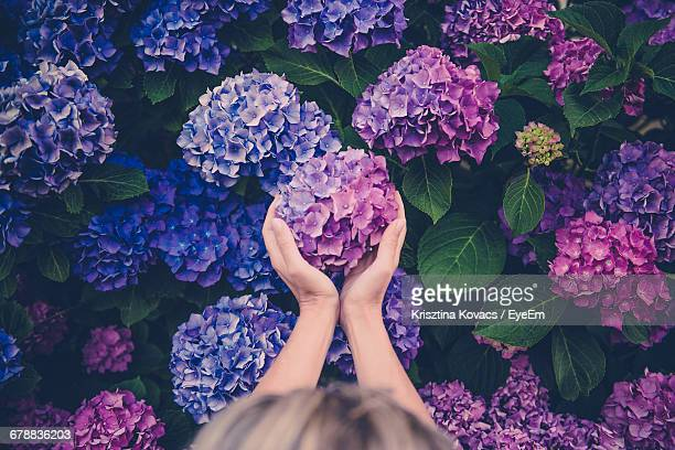 High Angle View Of Woman Holding Purple Flower