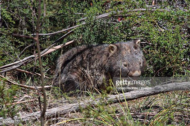 High Angle View Of Wombat Resting On Field
