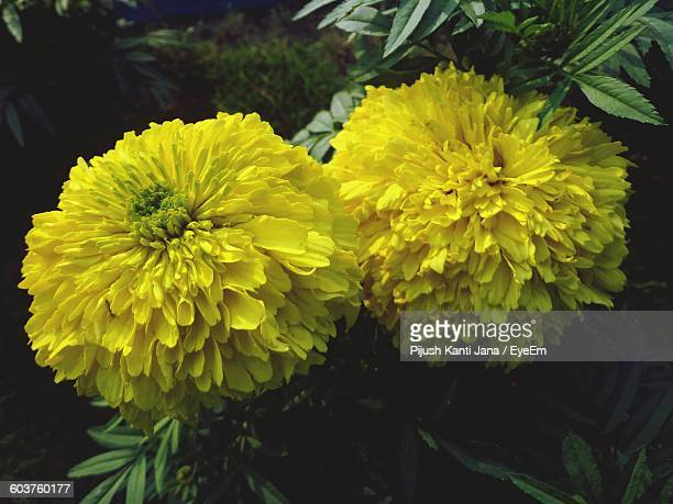 High Angle View Of Yellow Marigold Blooming Outdoors