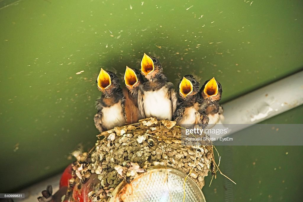 High Angle View Of Young Birds With Mouth Open At Nest