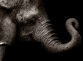elephant sepia portraiture.  Original image was cropped this explains the actual res.  [url=http://www.istockphoto.com/file_search.php?action=file&lightboxID=8495620][img]http://img294.imageshack.us/i