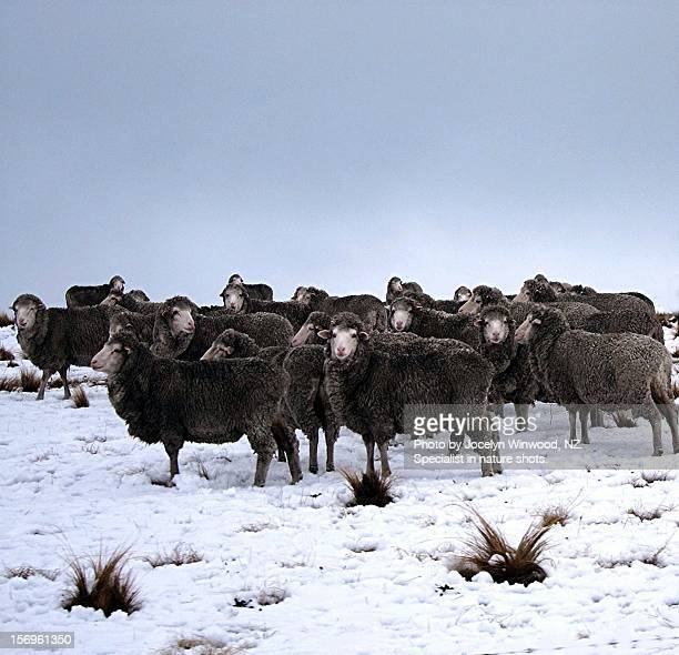 High Country Sheep At Twighlight