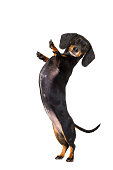 dachshund sausage dog  isolated on white background with high five gesture up right and standing ,looking at you