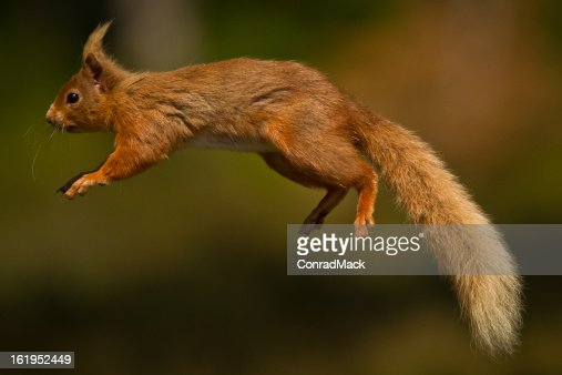 red jump fly squirrel - photo #38