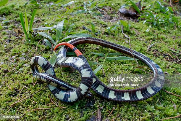 High ISO, wide angle macro shot of a venomous Striped Coral Snake showing its banded venter