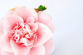 High key camellia shot from above