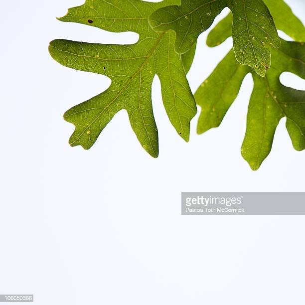 High Key White Oak Leaves