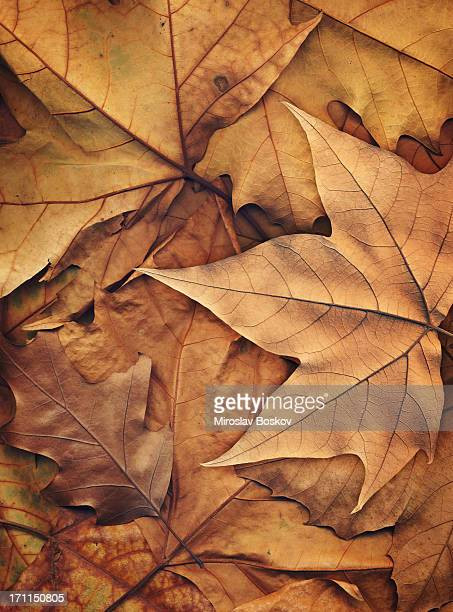 High Resolution Autumn Dry Maple Foliage Background