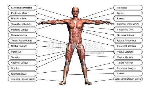 Concepto De Alta Resolución O Conceptual 3d Anatomía Humana Foto de ...