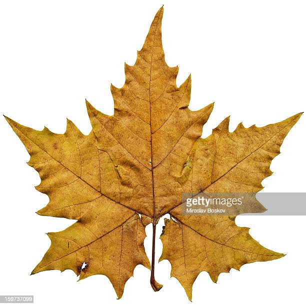 High Resolution Dry Maple Leaf Isolated On White Background