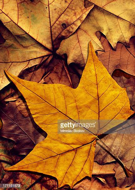 High resolution dry maple leaf on autumn foliage background
