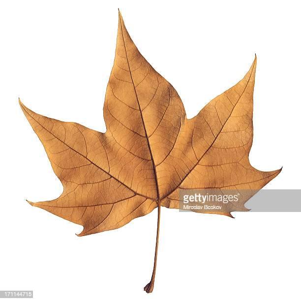 Haute résolution isolé automne Feuille d'érable sec