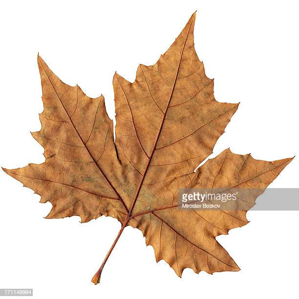High Resolution Maple Dry Leaf Isolated On White Background