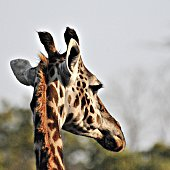 High Section Of Giraffe