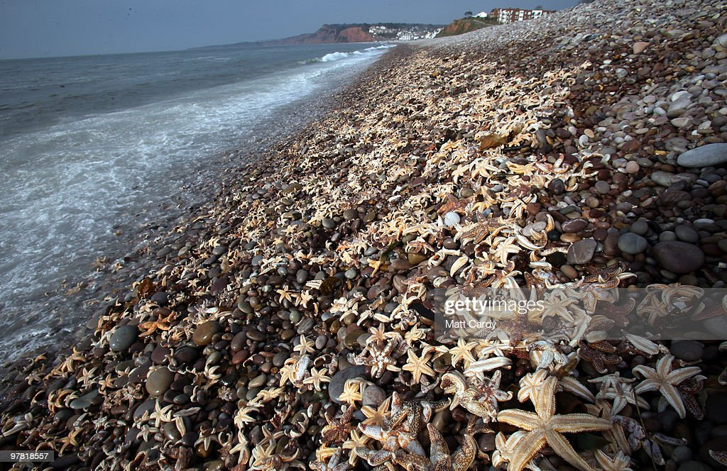 High tide waves wash over some of the thousands of starfish that have been washed up on the beach at Budleigh Salterton on March 18, 2010 in Devon, England. Over the last few days hundreds of thousands of starfish have been washed up on the beach, which marine experts believe is due to them become susceptible to high tides and storms after becoming exhausted spawning. Similar events happen once or twice a year in the UK, but it is the first time for Budleigh Salterton.