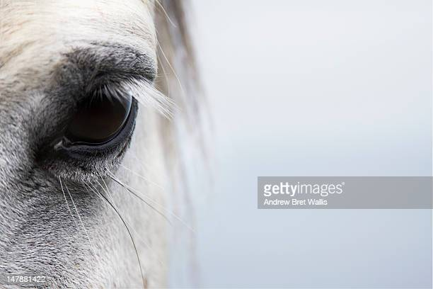 High-key close up of a Welsh Section A pony