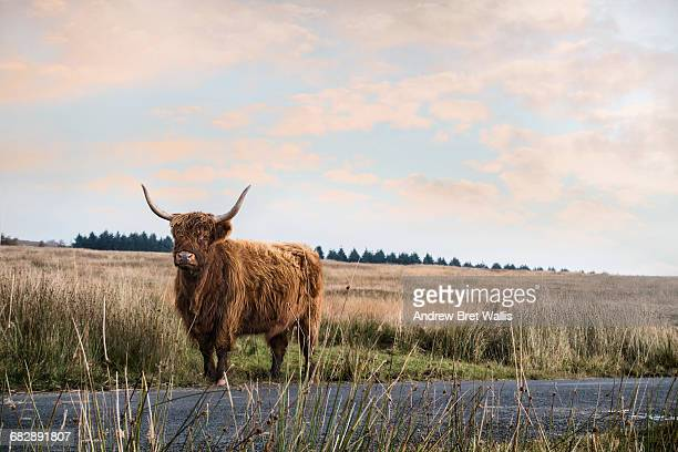 Highland bull roams on open moorland in autumn