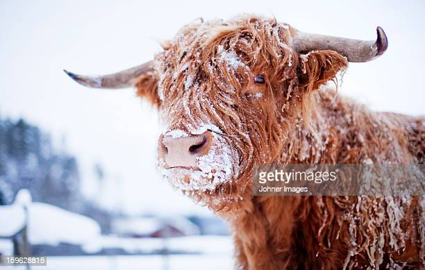 Highland cattle cover with snow