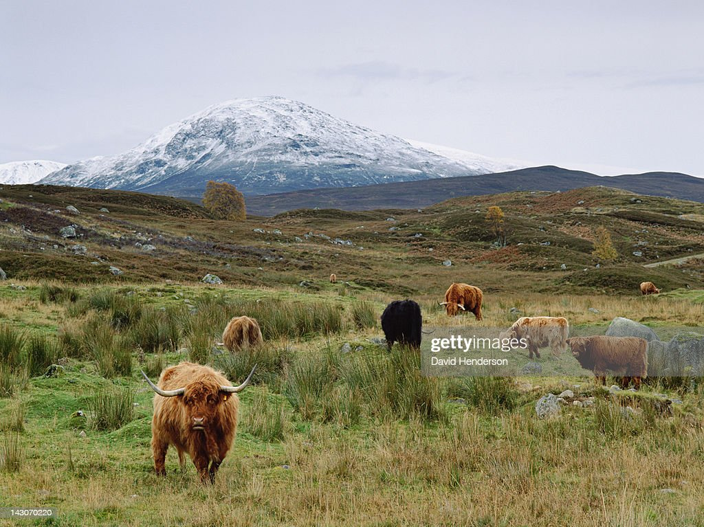 Highland cattle grazing in rural fields : Stock Photo