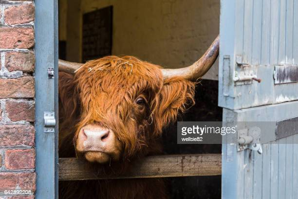 Highland cattle looking out of a shed
