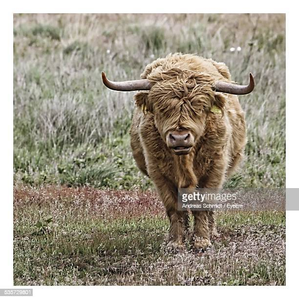 Highland Cattle On Grassy Field