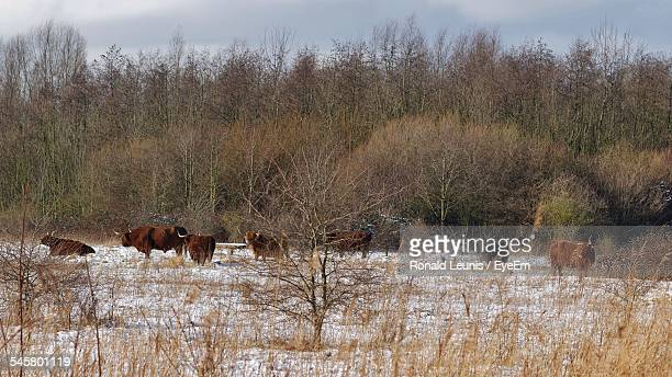Highland Cattle On Snow Covered Landscape