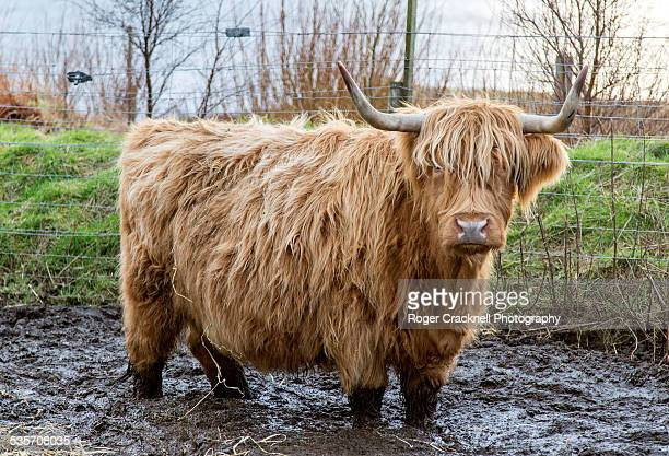Highland Cattle Scotland UK