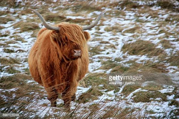 Highland Cattle Standing On Snow Covered Field